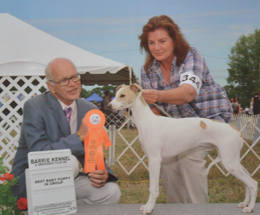 Whippet Breeders in quebec